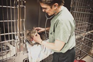 Female vet monitors a tabby cat in a cage.