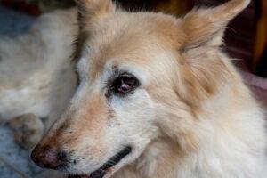 Tumor on third eyelid of dog