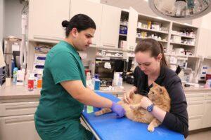 Two veterinary technicians examine an orange tabby cat.