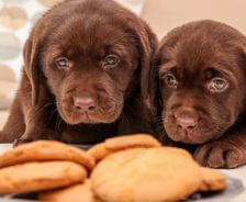 Two chocolate puppies look at a plate of cookies.