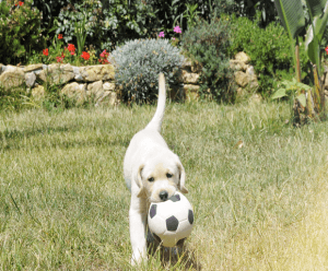 Yellow lab pup wih a soccer ball in his mouth plays in a garden