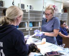 Two vet techs bandage a dog's foot.