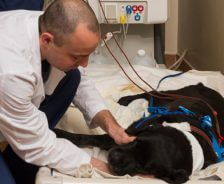 Dog receiving hemodialysis with veterinary next to him.