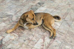 Dog with three legs lays on floor.