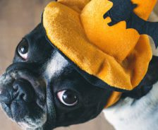 A French bulldog looks up while wearing a halloween hat.