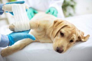 Sad Lab with leg bandage