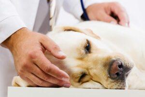 Adobe Stock, yellow lab with veterinarian