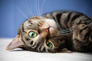 Cat Eye Infection Symptoms Bluepearl Pet Hospital