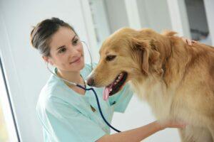 Veterinarian examining dog's heartbeat
