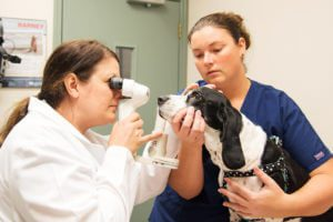 An ophthalmologist in a white coat examines a dog's eyes while another vet holds him.