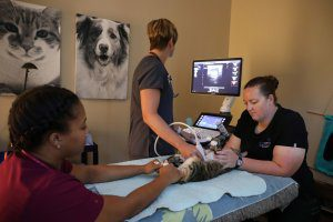 A doctor, vet tech, and intern perform an ultrasound on a cat.