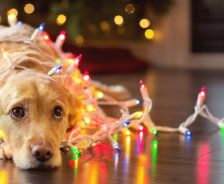 A dog is wrapped in Christmas lights.