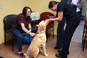 A veterinarian examines a Labrador's eyes while the owner watches.