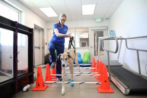 A BluePearl animal rehabilitation specialist leads a dog through a physical therapy course.