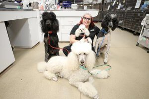 A vet tech sits in the middle of three large poodles and holds a small poodle.