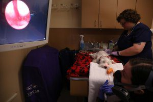 A vet and tech look into a dog's sinuses with a scope.