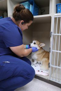A vet tech bends over to pet a small dog in a kennel.