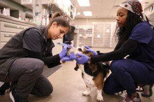 Two female vets check a basset hound's eye.
