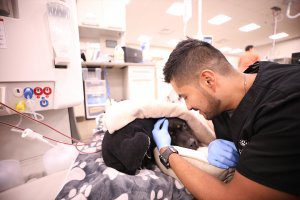 Male vet tech pets a black dog under blankets receiving hemodialysis.