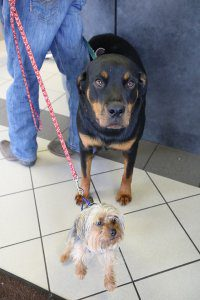 A large Rottweiler and small dog pose for the camera.