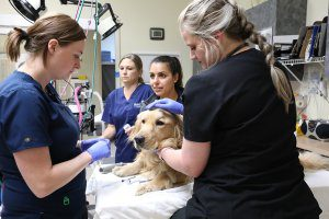 A group of vet tech stand around a golden retriever on a table.