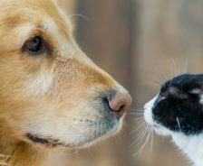 A golden retriever and black and white cat look into each other's eyes.