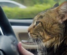 A cat sits in the car next to the driver.