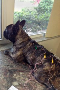 Acupuncture for pets
