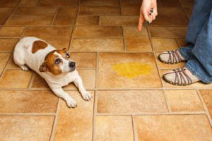 A dog who peed on the floor is being scolded.