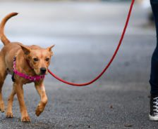 A brown dog walks next to owner on a leash.