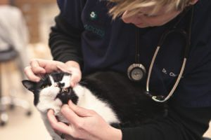 A veterinarian examines a black and white cat's teeth.