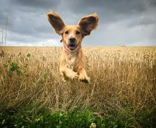 Dog running through field