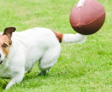 A dog chases a football.