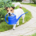 A small dog carries a blue watering can in its mouth.