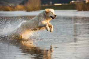 A golden retriever jumps in the water.