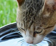 Domestic cat drinking water from water dish on green grass on a hot sunny day