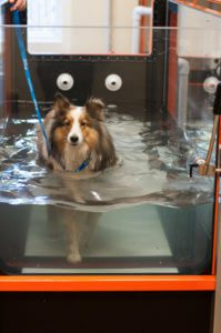 A collie walks on an underwater treadmill for rehabilitation exercises.