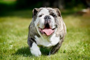 An overweight bulldog sits in the grass.