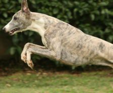 Greyhound dog leaps in the air.