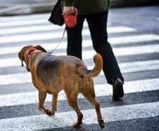 dog with owner walk across cross-walk
