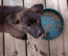 puppy looks up from food dish