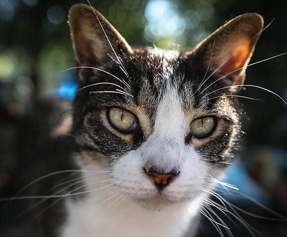 A tabby with a white nose and chest stares straight ahead.