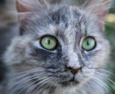 A long-haired grey cat stares ahead with green eyes.