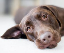 A chocolate Labrador lays on a white bed.