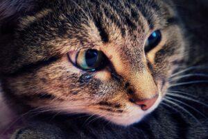 Tabby cat has watery, pink eyes.