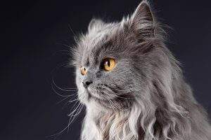 A grey Persian cat with gold eyes on black background.