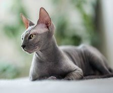 A grey Siamese cat sits outside.