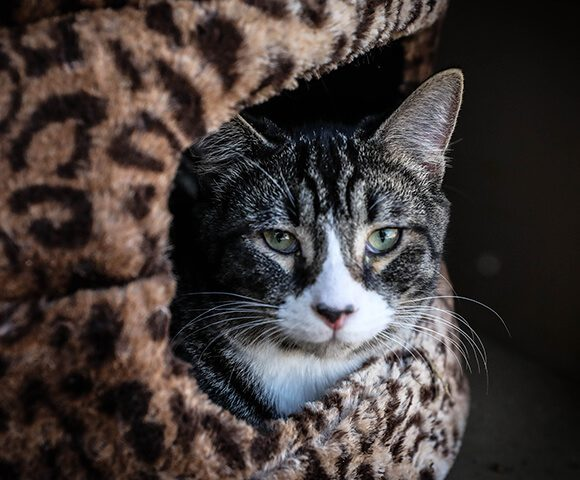 Cat Immune System And Cancer Topics Bluepearl Pet Hospital