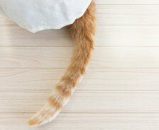 An orange tabby cat's tail sticks out from a white blanket.
