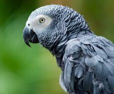 An African Grey parrot is before a green background.
